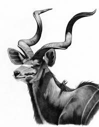 Image result for kudu sketches
