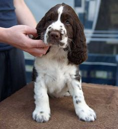 Our Springer Spaniel Jip in younger days