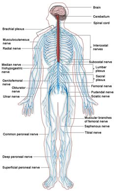 Human nervous system structure and functions explained with diagrams nervous system speaking in terms you can understand my nervous system is working in overdrive but im good 3 ccuart Gallery