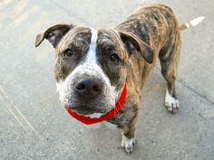 Manhattan center SCRUF MCGRUF – A1097298  MALE, Y BRINDLE / WHITE, PIT BULL MIX, 10 mos STRAY – EVALUATE, NO HOLD Reason ABANDON Intake condition UNSPECIFIE Intake Date 11/18/2016, From NY 10453, DueOut Date