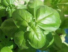 Albahaca, como cultivarla en maceta