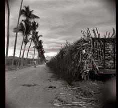 Caña de Azucar en una Plantacion cerca de Ponce , Puerto Rico en Enero de 1938