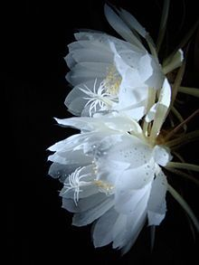 "the brahma kamal flower...:considered state flower of UP and Uttaranchal,India, the flower blooms only around the altitude of 4500mt(11000-17000ft). A treat for hikers to ever see a blooming Brahma Kamal in their lifetime these exotic plants are called ""king of himalayan flower""."