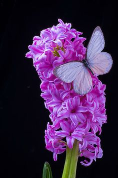 Pink Hyacinth With White Butterfly