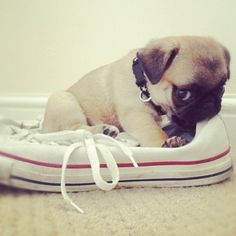 "Baby pug. (KO) ""I wanted to sleep in your shoe because it smells like you. I missed you. Could we snuggle now""? See it here---> http://pugsareus.net/frompinterest"