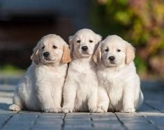The Three Amigos...Golden Retriever puppies found on fundogpics.com