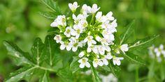 Brunnenkresse lindert die Symptome von Entzündungen der Atemwege Kraut, Home Remedies, Red And White, Herbs, Garden, Plants, Lunge, Health, Inspiration