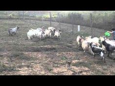 Gestione alimentazione capra cashmere. - YouTube Cashmere, Goats, Capri, Horses, Youtube, Cashmere Wool, Paisley, Horse, Youtubers