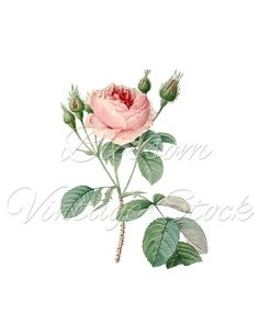 Botanical Rose PNG Redoute Rose Clipart, Pink Rose Digital Image, Vintage Illustration for Print, Digital Artwork - INSTANT DOWNLOAD - 1596