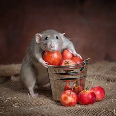 Can rats ever be CUTE? One photographer tries her best to prove the furry rodents are actually adorable Hamsters, Rodents, Animals And Pets, Baby Animals, Funny Animals, Cute Animals, Rats Mignon, Animal Pictures, Cute Pictures