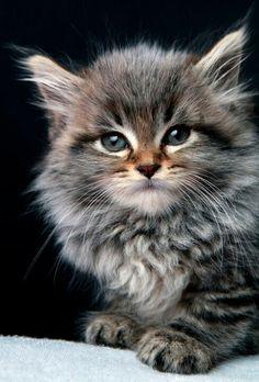 Adorable Maine coon kitten ♡