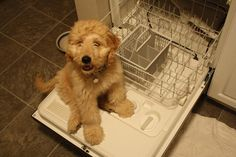 Bella Kai the Goldendoodle in the dishwasher!