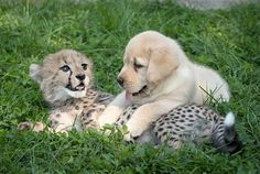 """Cheetahs Are So Shy That Zoos Give Them Their Own Emotional """"Support Dogs"""""""