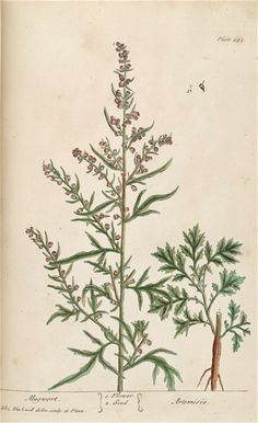 The Forgotten Uses of the Medicinal Herb Southernwood (Artemisia abrotanum)  Southerwood contains essential oil with powerful insect repellent properties. In the past it was not uncommon to place the leaves in closets and cupboards to keep moths away.