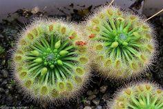 Drosera helodes | Flickr - Photo Sharing!