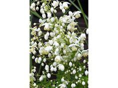 Thalictrum delavayi Splendide alba - Le jardin de Taurignan, producteur de plantes vivaces