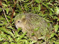 The kakapo is a flightless parrot native to New Zealand. There are only 131 left in the world.