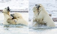 These are the amazing scenes of two polar bear cubs squaring up to each other in the Arctic Ocean just off the coast of Alaska captured by photographer Ian Plant, from Victoria, Minnesota.
