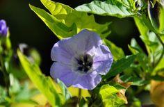 Скромная и нетребовательная однолетняя никандра  Никандра – летник, который несмотря на свои бесценные лекарственные и декоративные характеристики и сегодня остается редким гостем в наших садах. Нетребовательная к уходу, выносливая, непритязательная, крупная, эта перуанская красавица покоряет и своими похожими на физалис плодами, и красивыми светло-сиреневыми цветками, и крупными листьями.