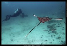 spotted eagle ray photo in Galapagos Islands via komo news Majestic Sea Flap Flap, Darwin's Theory Of Evolution, Spotted Eagle Ray, Google Camera, Blue Footed Booby, Waterproof Camera, Charles Darwin, Galapagos Islands, Ocean Creatures