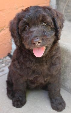 "Labradoodle puppy~ I want one just so I can say the name! ""Yep, this is my LA~BRA~DOO~DLE!"""