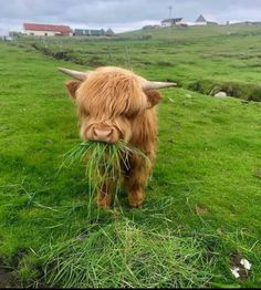 Highland cow munching on some lunch The Animals, Baby Animals Pictures, Cute Animal Photos, Cute Little Animals, Cute Funny Animals, Pictures Of Dogs, Wild Animals, Cute Baby Cow, Baby Cows