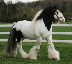 Dreammaker, imported Gypsy Vanner Horse Stallion
