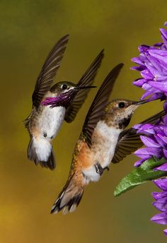 Calliope and Rufous Hummingbirds