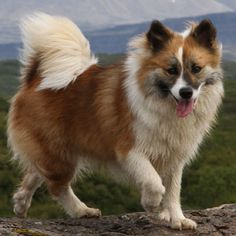 Icelandic Sheepdog Spitz Dog / Íslenskur fjárhundur / Islandsk Farehond / Friaar Dog the cutest dogs we have umumum Beautiful Dogs, Animals Beautiful, Cute Animals, Overweight Dog, Icelandic Sheepdog, Spitz Dogs, Different Dogs, Purebred Dogs, Horses