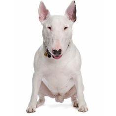 De certeza que você já viu esse cachorro em alguma animação, mas agora pode saber mais sobre ele :) #bullterrier #cachorros #bullterrieringlês #cães #animais