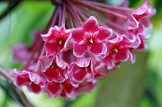 Common Wax-plant