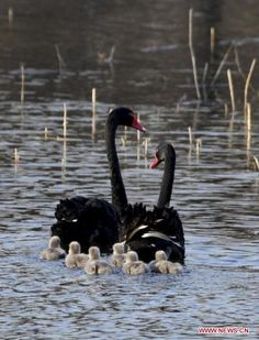 How lovely. A beautiful swan family out for a swim. Beautiful Swan, Beautiful Birds, Animals Beautiful, Animals And Pets, Baby Animals, Cute Animals, Pretty Birds, Love Birds, Australian Birds
