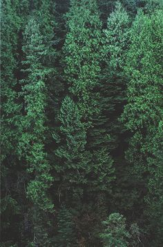 Analog photo of a coniferous forest.