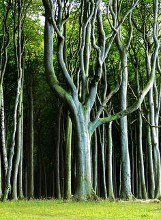 Der Zauberwald aus Eichen, Buchen, Hainbuchen und Eschen im Ostseebad Nienhagen im Landkreis Rostock in Mecklenburg-Vorpommern. Germany. ..... Forest Light in the mystical, enchanted wood. Foto: CC - Lebrac