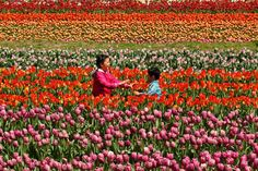 Saturday, April 18: Tulips blooming -  Children play at the Tanto Tulip Festival in Toyooka, Japan on April 18, 2015.  -  © Buddhika Weerasinghe/Getty Images