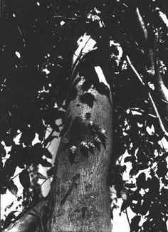Snails feed on bark of Metopium toxifera ~ Photographed in small hammock at Long Key, Florida. January 1916.