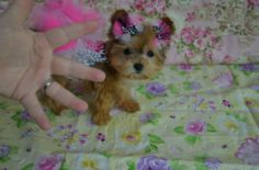 Teacup Puppies For Sale | Yorkshire Terrier | Yorkie | Morkie