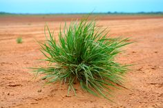 Plant in Dry Lake bed.