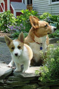 Corgi and Pup in the Garden