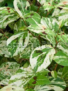 464052 - Knotweed (Persicaria filiformis 'Painter's Palette' syn. Polygonum filiforme 'Painter's Palette')