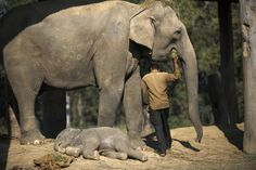 A study has found that elephants sleep for as little as two hours each day.