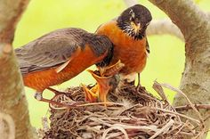 Dwayne Proffitt (B&B reader).  From Baltimore orioles to American robins, shake off winter and get ready for spring with these beautiful, reader-submitted bird photos.
