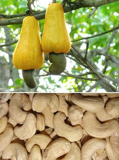 10+ Surprising Pics That Show How Food Looks Before It's Harvested | Bored Panda..... Cashew