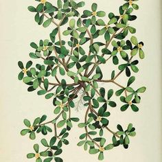 Though it's often been branded as a troublesome weed or as fodder for animals, purslane is full of delightful surprises. The young leaves, which taste similar to a cucumber, can be eaten raw, made into pesto, stir fried, or pickled. The mucilaginous leaves can be used as a thickener for soups, and purslane's tiny seeds can be dried and used in breads and salads like poppy seeds.  For the more ambitious harvester, the seeds can also be ground into flour.