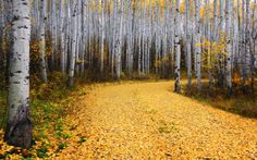 Golden Road: A glorious road of gold through the aspen woods of Snowmass, Colorado. (© Ron Azevedo/National Geographic Photo Contest) Part II - In Focus - The Atlantic Wallpaper 2017, Tree Wallpaper, Forest Wallpaper, Aspen Colorado, Lago Erie, National Geographic Photo Contest, Nature Sauvage, Picture Tree, Big Picture