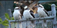 Laughing Kookaburra family in the backyard. Native Australian bird, makes very funny noise. Usually start one and continue at least one more. It is like a few happy people are laughing very load. If you do not know about them the sounds are creepy , you have just not idea what kind of animal is that.