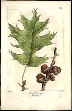 Oak tree drawing botanical prints 22 Ideas for 2019 Vintage Prints, Vintage Botanical Prints, Botanical Drawings, Botanical Art, Red Oak Leaf, Red Oak Tree, Oak Leaves, Illustration Botanique, Plant Illustration