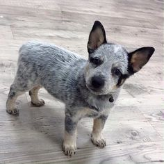 Baby Dogs, Pet Dogs, Pets, Australian Dog Breeds, Austrailian Cattle Dog, Puppies And Kitties, Dog Rules, Dog Art, Dog Life