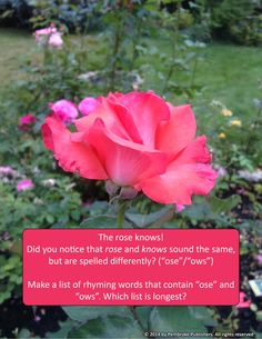 """The rose knows! Did you notice that rose and knows sound the same, but are spelled differently? (""""ose""""/""""ows"""") Make a list of rhyming words that contain """"ose"""" and """"ows"""". Which list is longest?"""