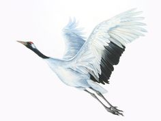 Crane Drawing, Fly Drawing, Watercolor Bird, Watercolor Paintings, Crane Tattoo, Scratchboard Art, Crane Bird, Bird Illustration, Bird Art